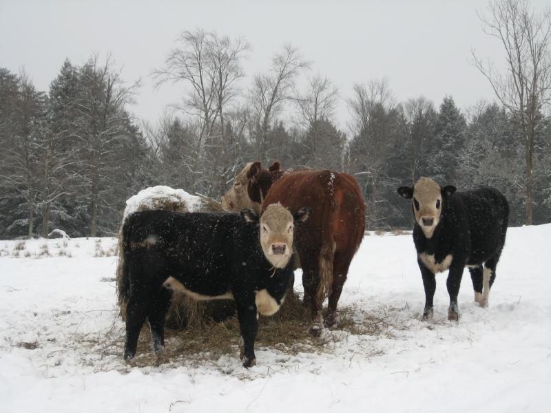 Elsie and Chuck, some of our pastured beef cattle.